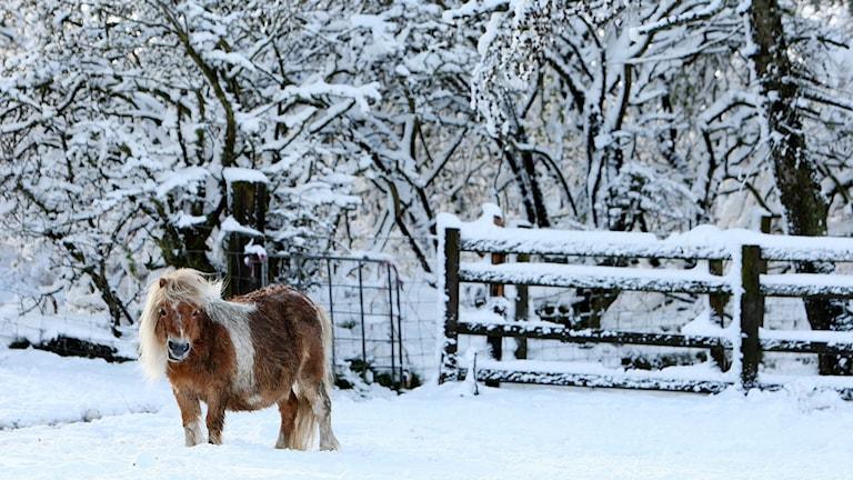 En ponny står i snön. Foto: Scott Heppell/TT