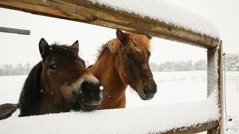 Två hästar i snö. Foto: Jeff McIntosh/TT
