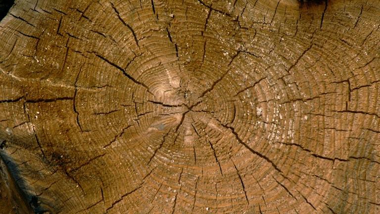 En trädstam med årsringar. Foto: Hasse Holmberg/TT
