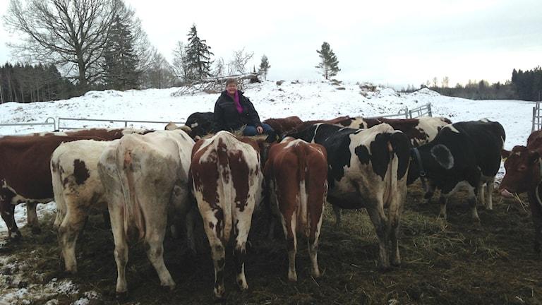 Mjölkbonden Åsa Augustsson bland sina kor. Foto: Jenny Josefsson P4 Skaraborg Sveriges Radio