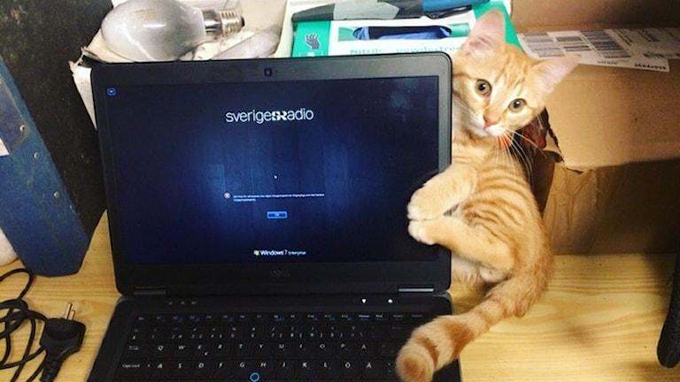 Katten Bengt kramar datorn