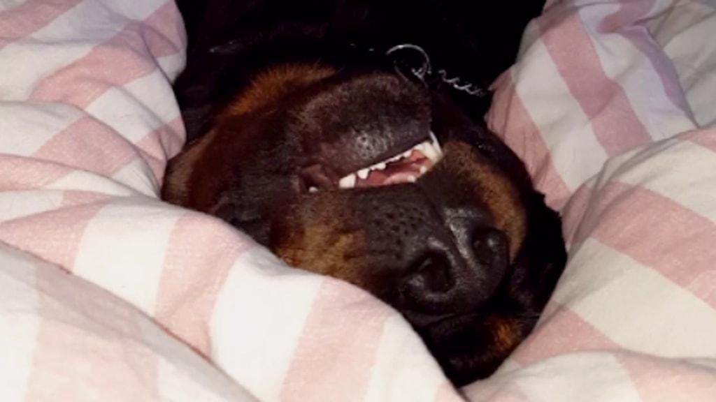 Hunden Ruffe i Skara snarkar gött i mattes säng på kvällarna.