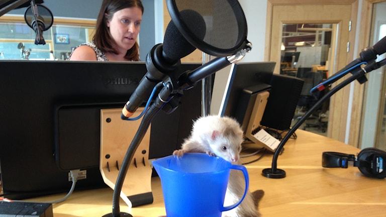 En iller på studiobordet och en fokuserad programledare i bakgrunden.