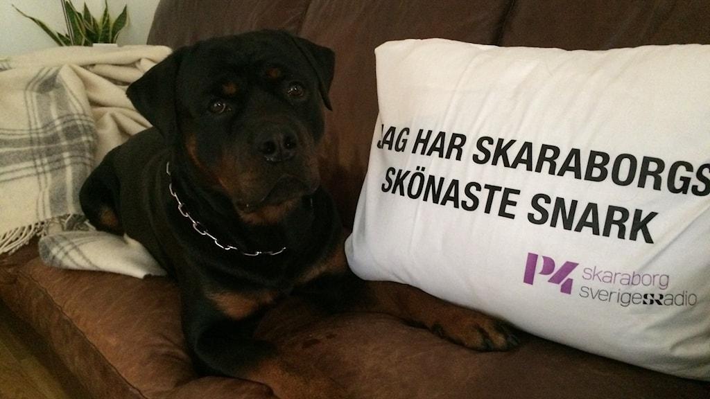 Rottweilern Ruffe i Skara verkar nöjd med sitt pris.