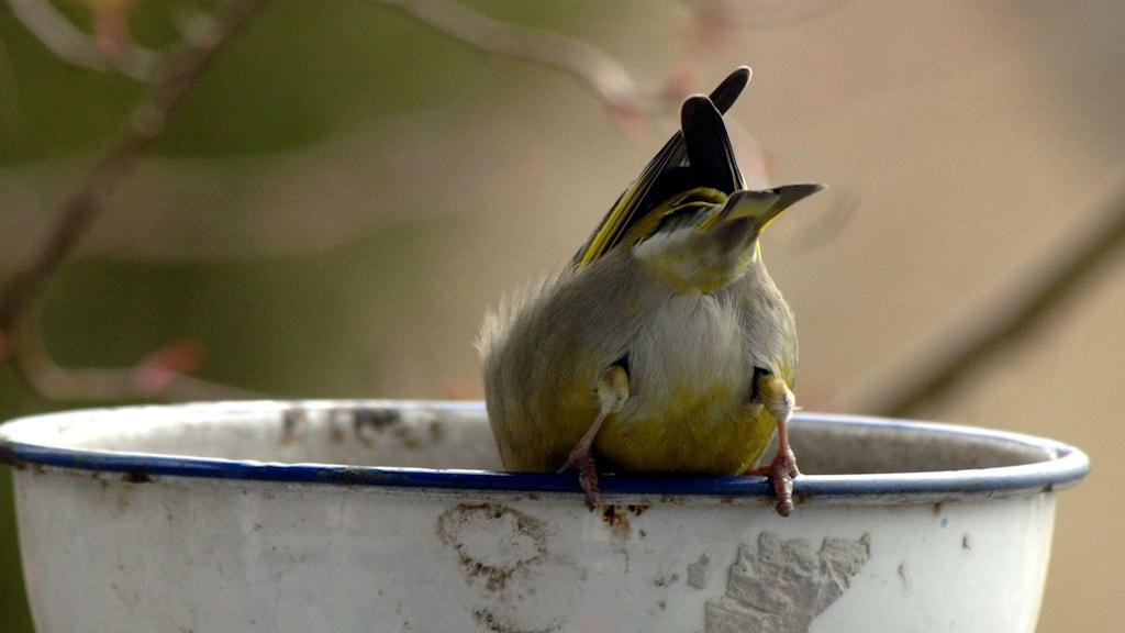 En grönfink äter fågelmat. Foto: Hasse Holmberg/TT