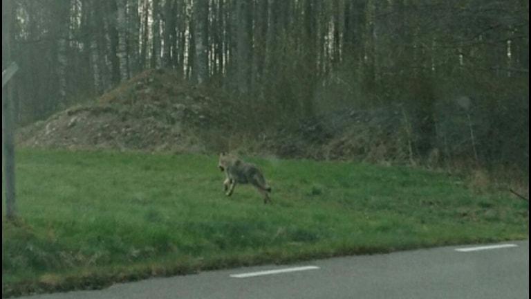 En varg springer bort från vägen