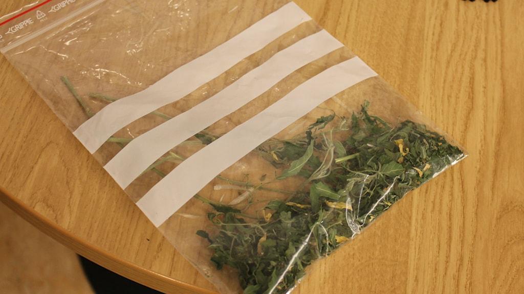 Misstänkt cannabis Foto: Pernilla Wadebäck, P4 Skaraborg