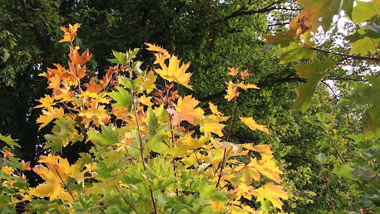Gröna blad delar plats med röda blad på buske.
