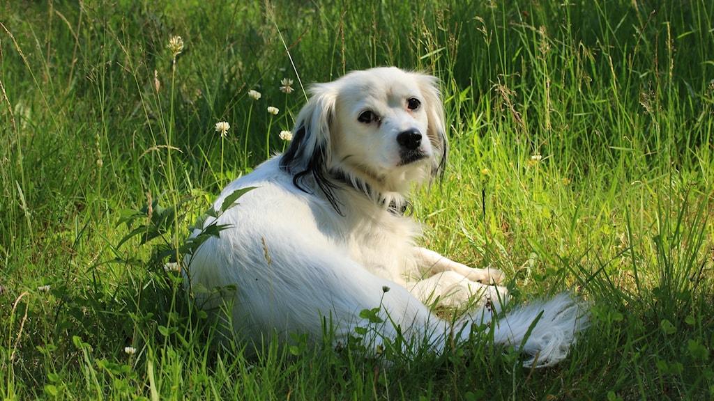 Hunden Molly ligger i gräset.