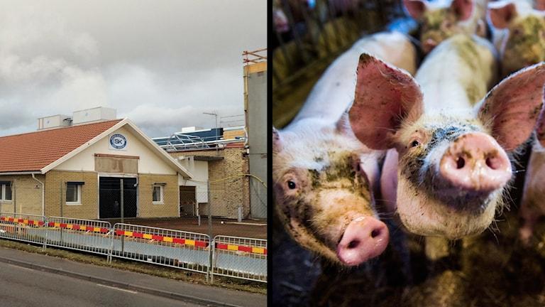Skövde slakteri och grisar