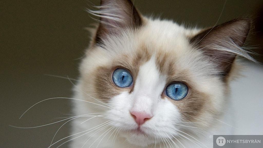 Närbild på en blåmaskad Ragdoll med vitfläck och karaktäristiska blåa ögon.