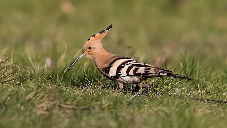 En härfågel med sin spetsiga topp.