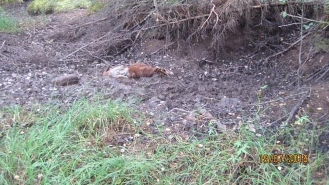 En död älgkalv i Otterbäcken