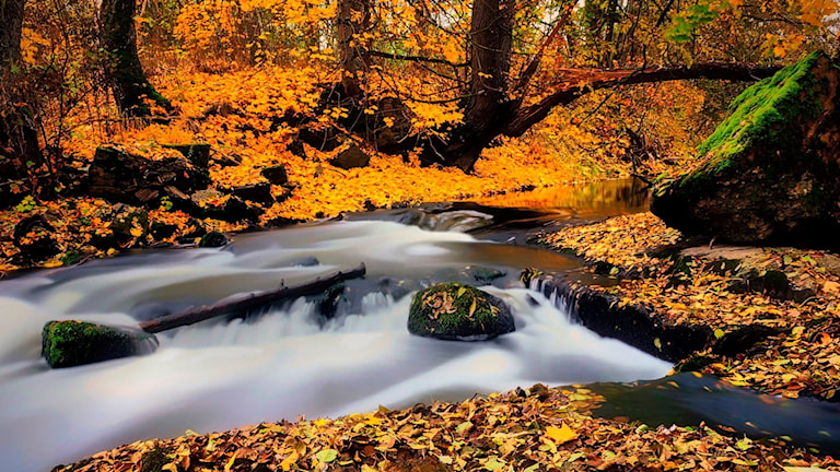 Höstbäck rinner genom en skog av gula löv.