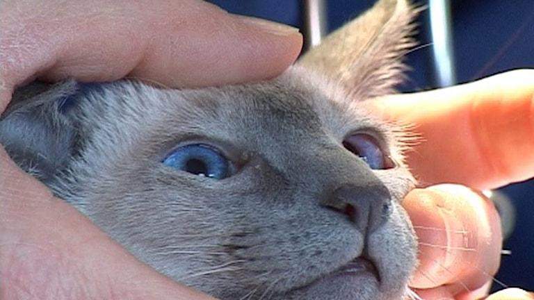 Katt undersöks av veterinär.