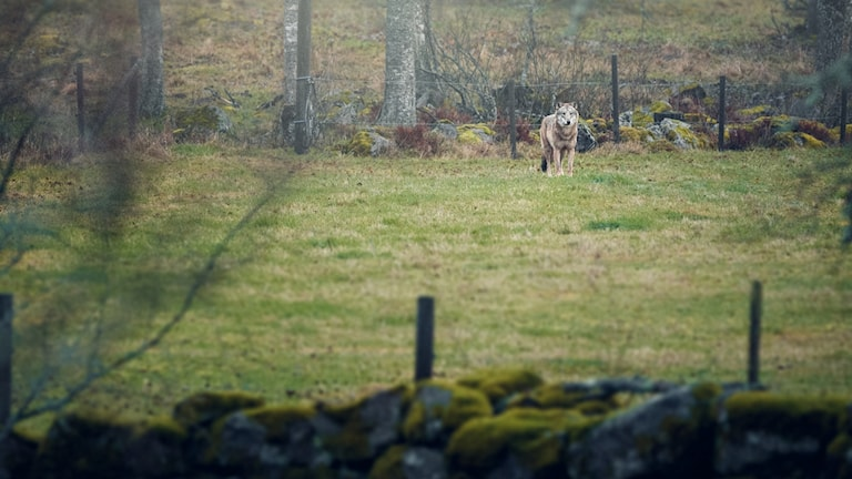 En varg på en åker