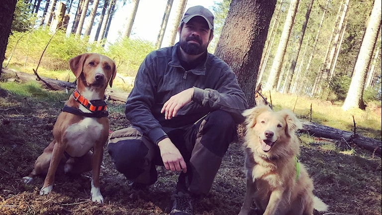 Mikael Johansson och hans hundar jagar granbarkborrar