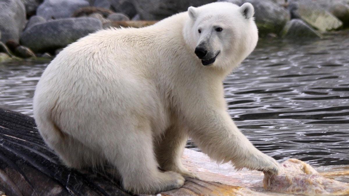 Isbjörn vid vattenbrynet