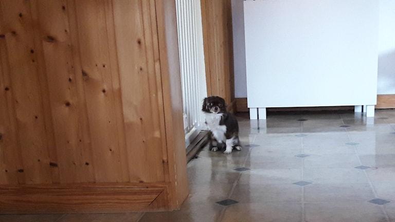 Siri chihuahua hund