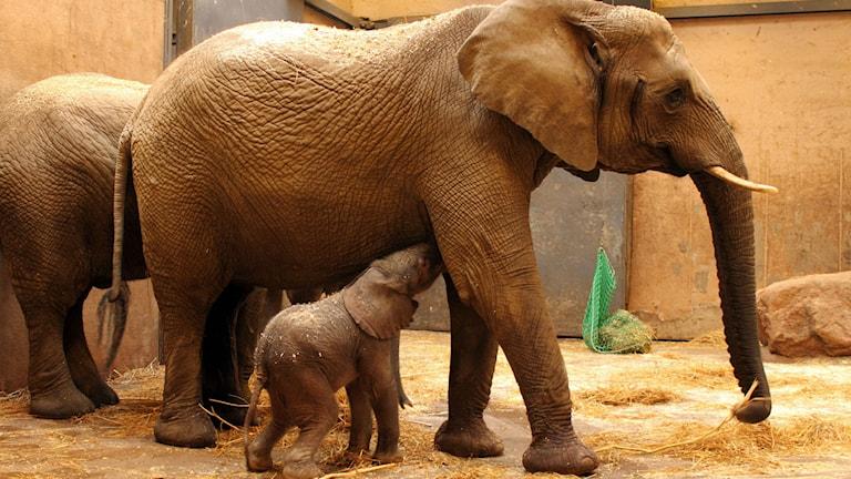 Elefanter på Borås djurpark. Foto: Borås djurpark