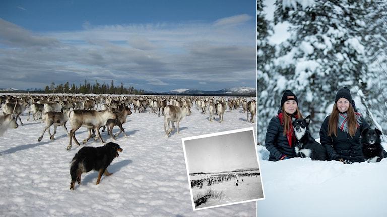 Collage av bilder på renhundar och vinterlandskap.