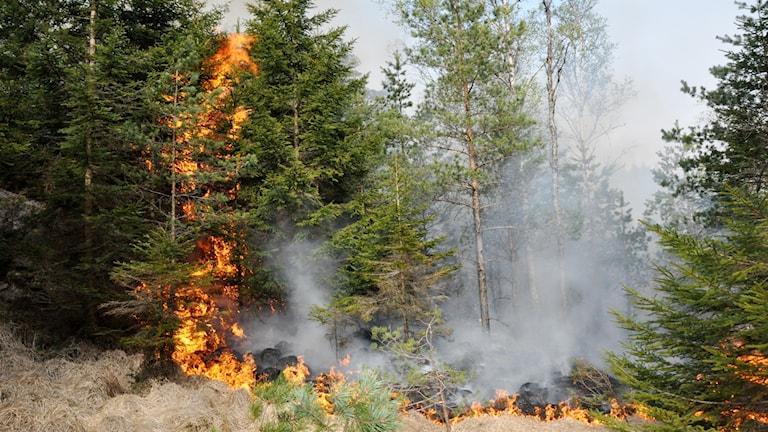 Skogsbrand i gran- och björkskog.