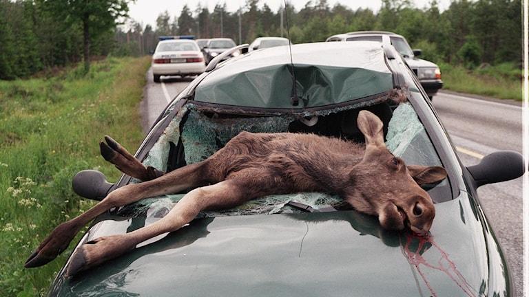 Död älg ligger på en bilhuv efter viltolycka.