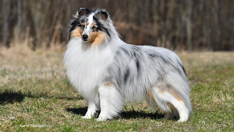 Hunden Dennis som är en shettland sheepdog – eller sheltie.