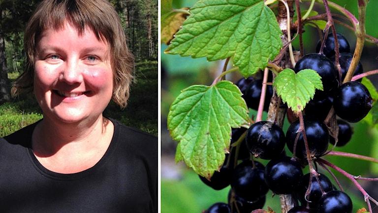 Eva Gunnare tipsar om vinbär.