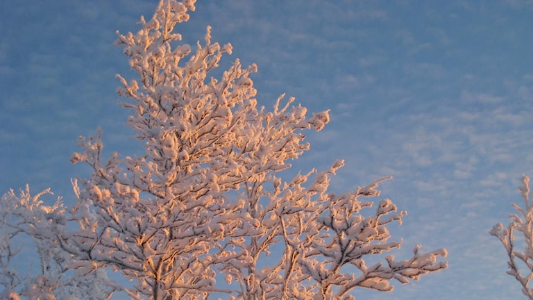 Rönnar på vintern. Foto: Anneli Lindbäck/Sveriges Radio