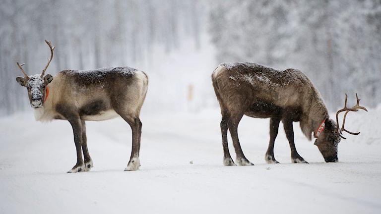 Renar på vägen utanför Jokkmokk. Foto: Fredrik Sandberg/Scanpix.