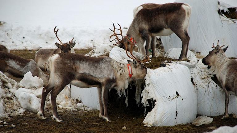 Renar äter ur höbalar i Orrbyn. Foto: Eleonor Norgren/Sveriges Radio.