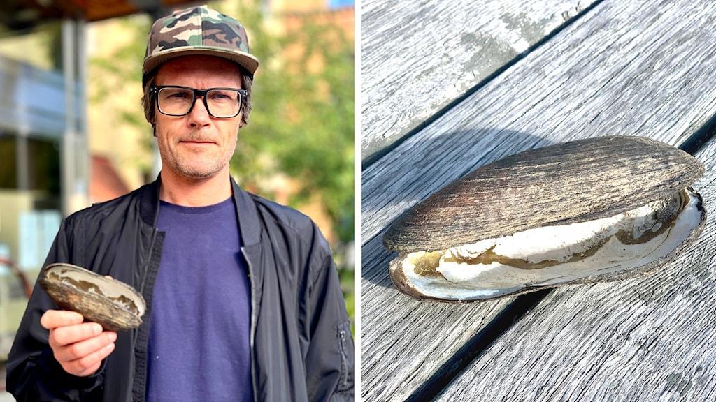 en man i keps, lila thirt och svart jacka och fyrkantiga glasögon håller i en flodpärlmussla. På höger sida av bilden ser man mussland i närbild. Den är grå och spårig av alla årsringar.