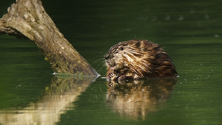 En bisam sitter på en stock i vattnet