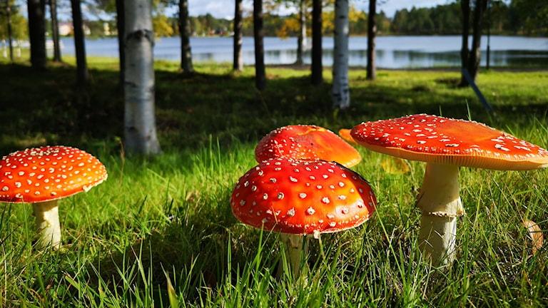 Flugsvampar