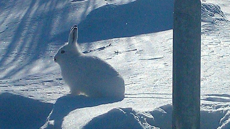 En vintevit hare i Kiruna. Foto: Anneli Lindbäck/Sveriges Radio