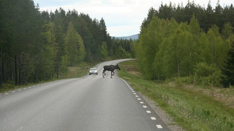 Älg på väg. Foto: Joseph Knevel/Sveriges Radio.