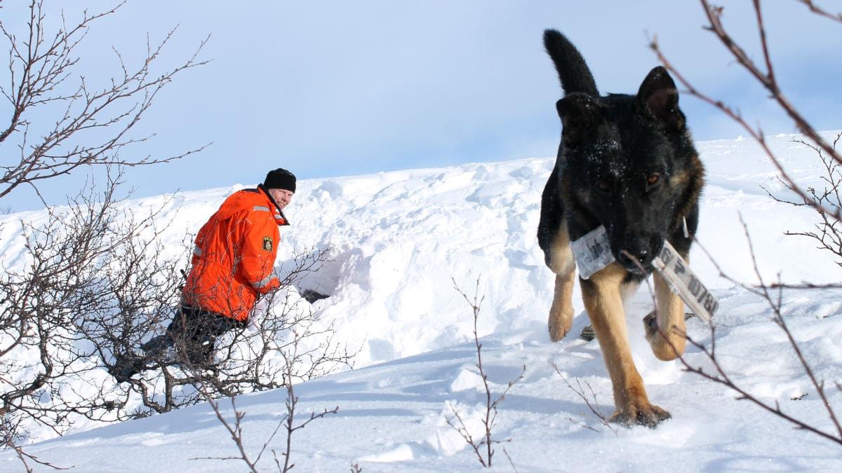 Hundförare och lavinhundar är på träningsläger i Abisko. Foto: Alexander Linder/ Sveriges Radio.