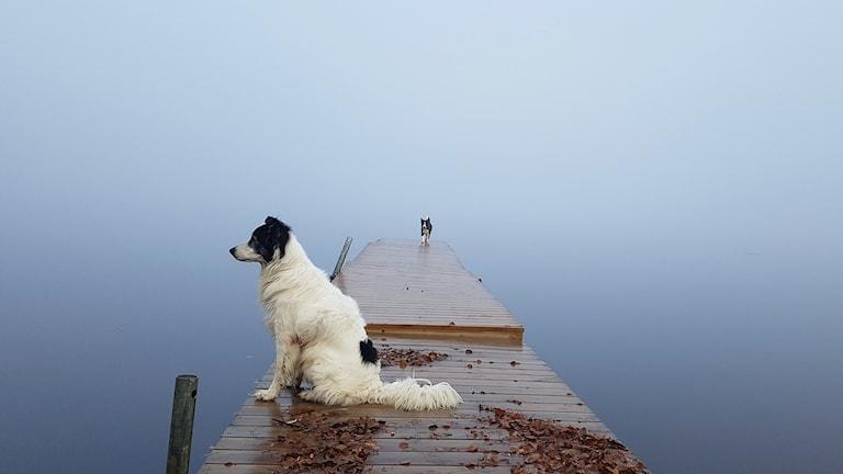 Den stora stillheten i Tornedalen. Två hundar sitter på en brygga i dimman.