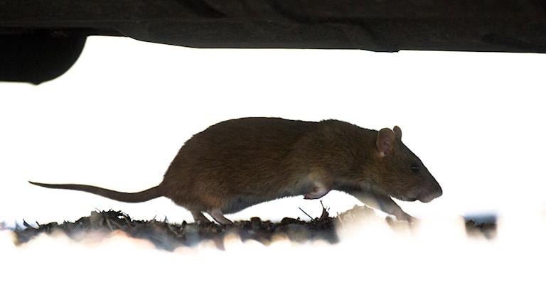 Råtta.