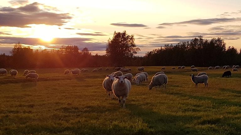 En flock får en höstkväll.
