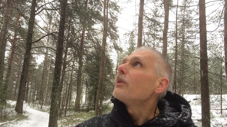 Kommunekologen Örjan Spansk i Luleå kommun visar de gamla hällmarkstallarna inom Mjölkuddsbergets kommande naturreservat.