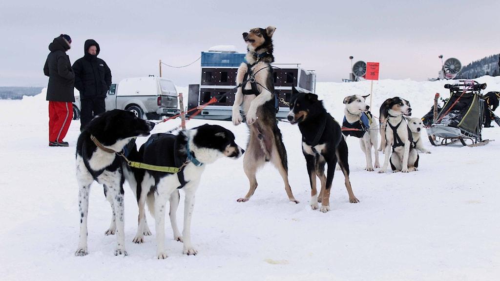 Hundarna var ivriga att komma iväg. Foto: Alexander Linder/ Sveriges Radio.