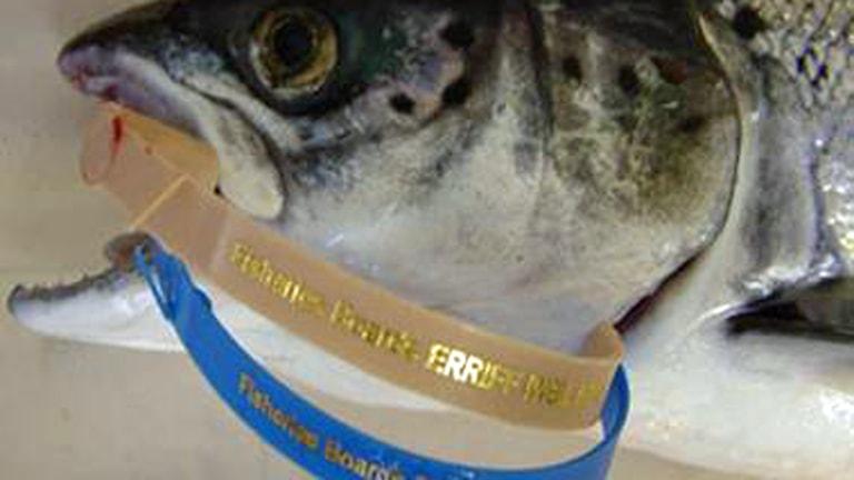 Fisk med gälplomb. Foto: Länsstyrelsen i Norrbotten.