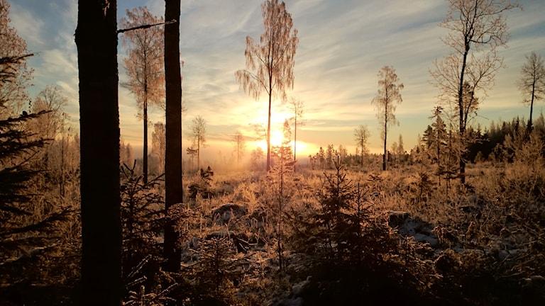 Lyssnarbild: Soluppgång i skogen. Harjakt med pappa i Vitå, och ett fantastiskt morgonväder denna lördag. Foto Joakim Andersson.