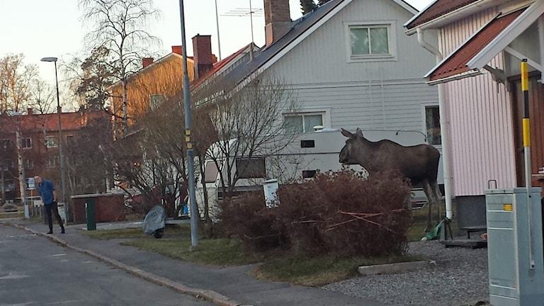 Älg i villakvarter i Luleå. Foto: Eva Lundgren.