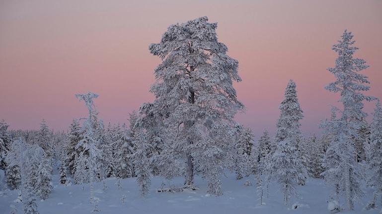 Lyssnarbild - Solnedgång i minus 20 tagen i Arvidsjaur. Foto: Ingemar Strandberg