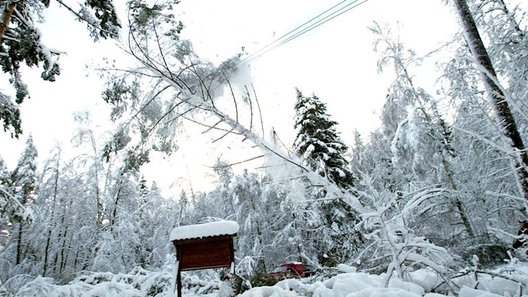 Isig elledning som ett träd rasat över. Foto: Pontus Lundahl/TT