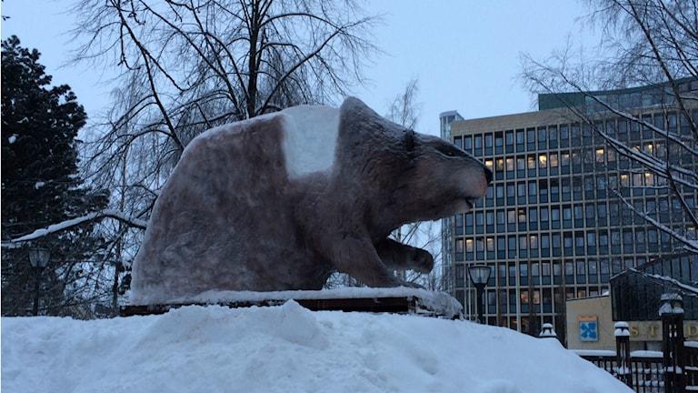 Årets snö- och isdjur i Luleå 2014 blev en bäver. Foto: Carin Sjöblom/ Sveriges Radio.