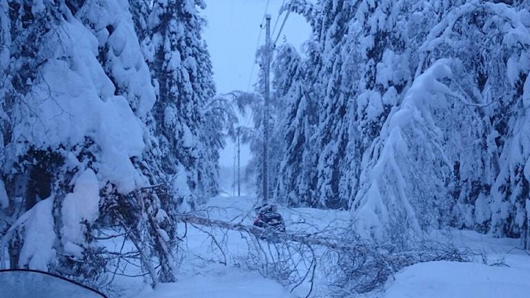 Elavbrott, träd på elledningar. Foto: Tomas Bergvall.